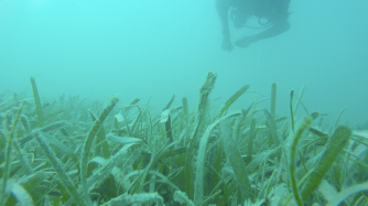 Lush seagrass outside of the bare grazing halos, far from the reef